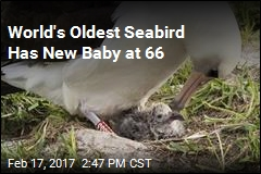 World's Oldest Seabird Has a New Baby
