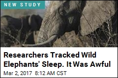 Elephants May Sleep Less Than Any Other Mammal