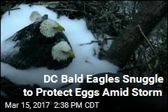 DC Bald Eagles Snuggle to Protect Eggs Amid Storm