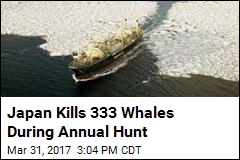 Japan Kills 333 Whales During Annual Hunt