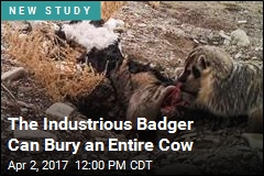 The Industrious Badger Can Bury an Entire Cow