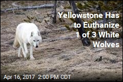 Yellowstone Has to Euthanize 1 of 3 White Wolves