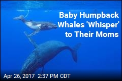 Baby Humpback Whales 'Whisper' to Their Moms