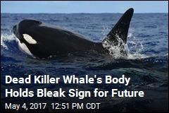 Dead Killer Whale: 'One of Most Contaminated Animals on Planet'