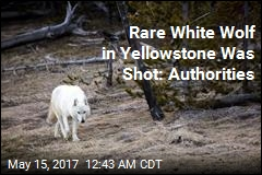 $10K Reward Offered for Killer of Yellowstone White Wolf