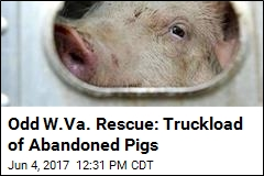 Odd W.Va. Rescue: Truckload of Abandoned Pigs