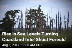 Rising Seas Creating More 'Ghost Forests'