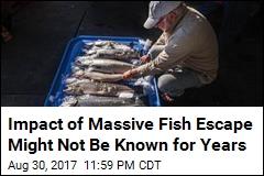 Massive Salmon Escape Could Threaten Wild Population