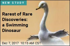 Rarest of Rare Discoveries: a Swimming Dinosaur