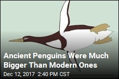This Ancient Penguin Was as Big as a Human