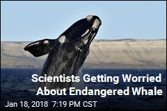 Scientists Getting Worried About Endangered Whale