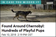 Their Ancestors Abandoned at Chernobyl, These Pups Persist