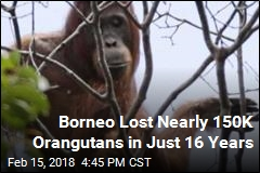 Borneo Lost Nearly 150K Orangutans in Just 16 Years