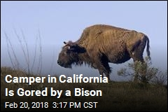 Bison Gores Man on Catalina Island