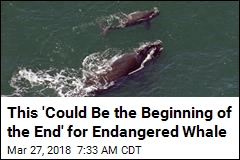 This 'Could Be the Beginning of the End' for Endangered Whale