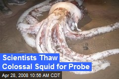 Scientists Thaw Colossal Squid for Probe