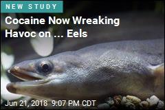 Cocaine Now Wreaking Havoc on ... Eels