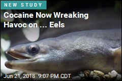 Cocaine Now Wreaking Havoc on ... Eels
