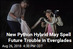 Hybrid Everglades Pythons May Spell Trouble in Florida