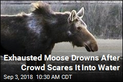 Moose Threatened by Gawking Crowd Retreats to Lake, Drowns