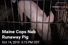 Maine Cops Nab Runaway Pig