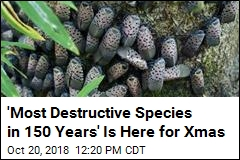 'Most Destructive Species' Could Be in Your Xmas Tree