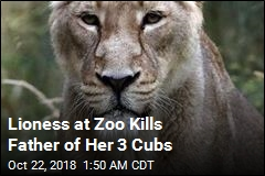 Lioness Kills Father of Her Three Cubs