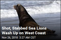 Shot, Stabbed Sea Lions Wash Up on West Coast