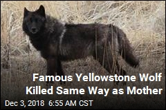 Famous Yellowstone Wolf Killed Same Way as Mother