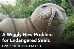 A Wiggly New Problem for Endangered Seals