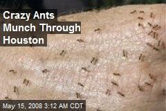 Crazy Ants Munch Through Houston