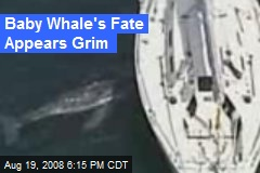 Baby Whale's Fate Appears Grim