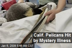 Calif. Pelicans Hit by Mystery Illness
