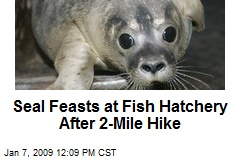 Seal Feasts at Fish Hatchery After 2-Mile Hike