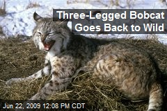 Three-Legged Bobcat Goes Back to Wild