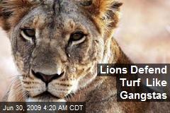 Lions Defend Turf Like Gangstas