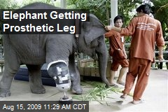 Elephant Getting Prosthetic Leg
