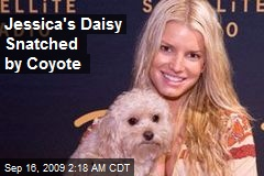 Jessica's Daisy Snatched by Coyote