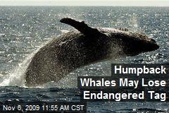 Humpback Whales May Lose Endangered Tag