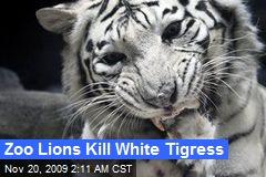 Zoo Lions Kill White Tigress