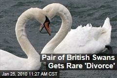 Pair of British Swans Gets Rare 'Divorce'