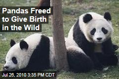 Pandas Freed to Give Birth in the Wild
