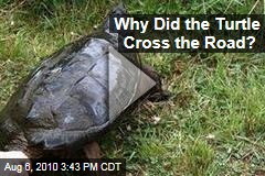 Why Did the Turtle Cross the Road?