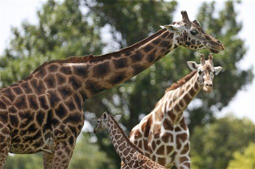 Scientists Finally Know What Sound a Giraffe Makes