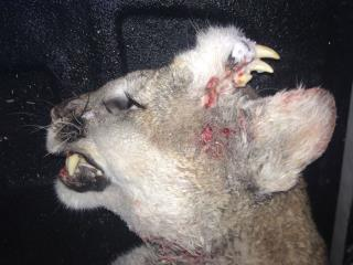 Cougar With Teeth Growing From Forehead Perplexes