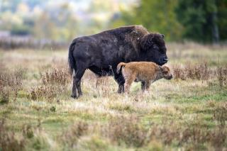 After More Than a Century, Bison Are 'Coming Home'
