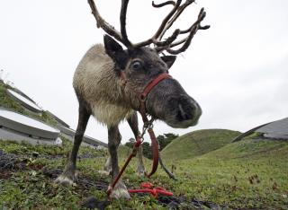 Anthrax Hits Siberia After Decades Frozen in Reindeer Carcass