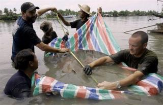 These Stingrays Can Be 8 Feet Wide, Are Turning Up Dead