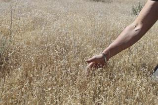 Bacteria May Be Weapon Against Cheatgrass Invading the West