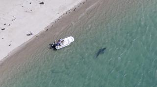 Cape Cod's Hot New Tourists: Great Whites